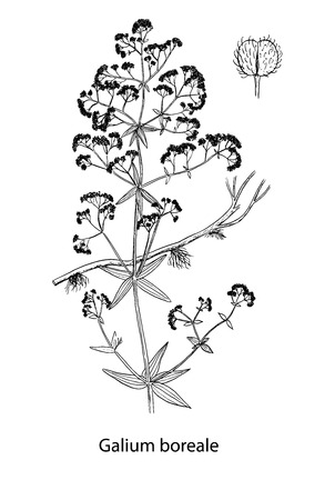 Galium boreale handdrawn illustration