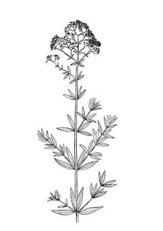 Galium physocarpum botanical draw