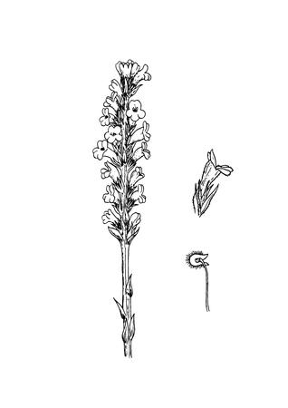 Orobanche arenaria vector illustration
