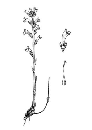 Orobanche purpurea handddrawnn botanical sketch Ilustração