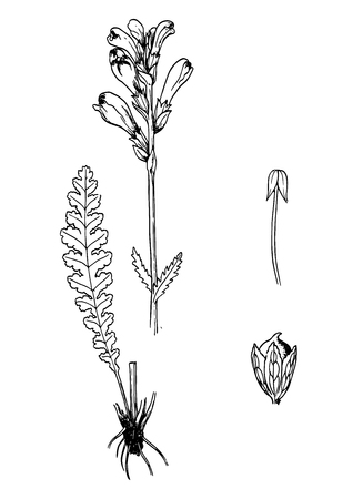 Pedicularis spectrum carolinum handdrawn botanical sketch