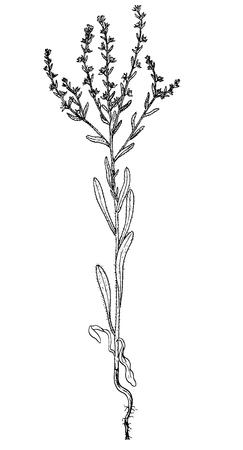 lappula consaquinea vector botanical sketch