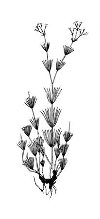 Galium octanarium handdrawn botanical illustration