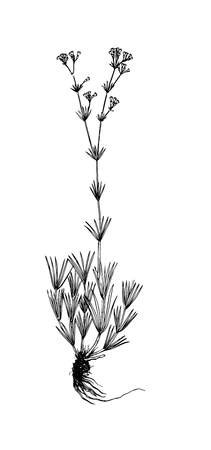 Galium companulatium handdrawn illustration Ilustração