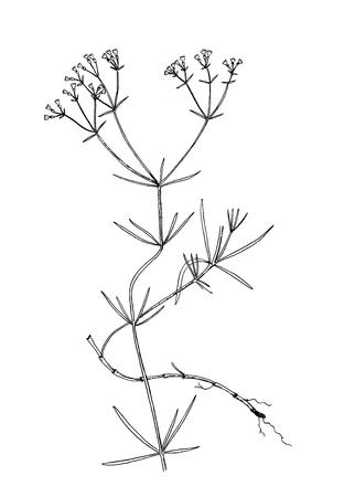 Galium tinctorium botanical handdrown illustration