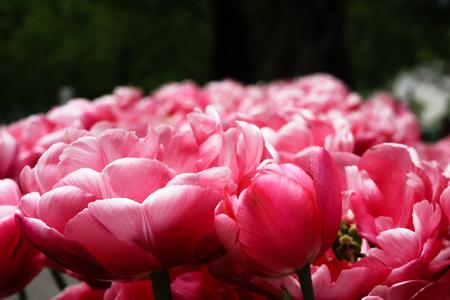 Tulip claudia flowers at Keukenhof gardens