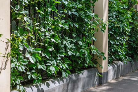 A fence made of concrete pillars with a metal lattice covered with green plants. Foto de archivo