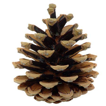 sear: pine cone