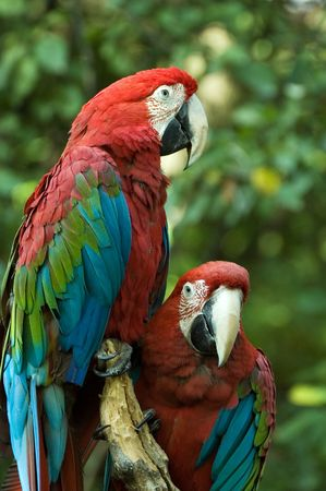 Couple of green-winged macaws Stock Photo - 1888612