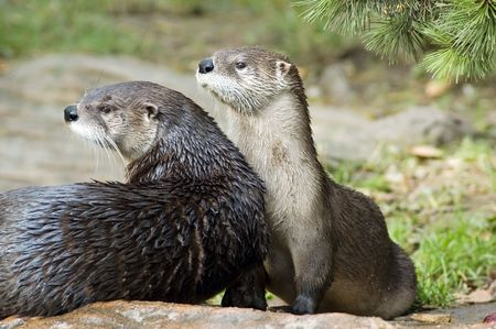 otter: two canadian river otters (lutra canadensis)