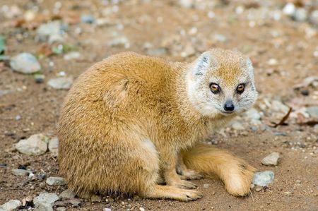 Portrait of yellow mongoose (Cinyctis penicillata) photo