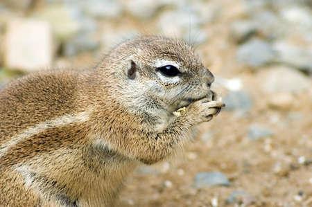 xerus inauris: Cape ground squirrel eating nut