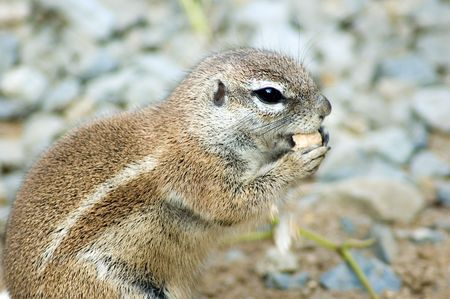 xerus inauris: Cape ground squirrel eating nut