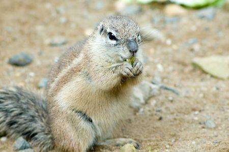 xerus inauris: Cape ground squirrel Stock Photo