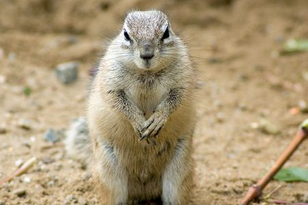 xerus inauris: Cape ground squirrel Stock Photo