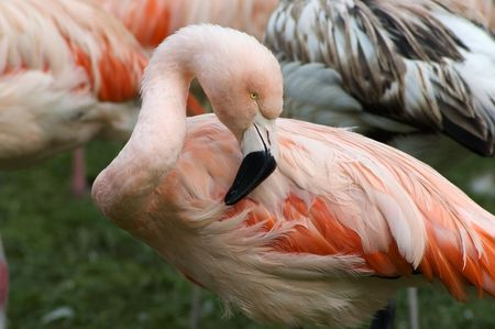 Greater flamingo photo