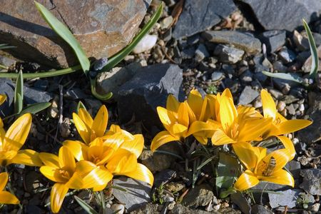 Closeup shot of yellow crocuses with a small bee photo