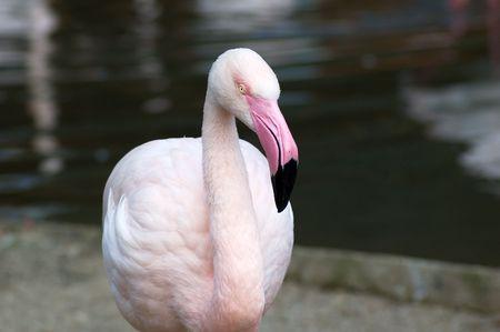 phoenicopterus: Portrait of greater flamingo (phoenicopterus roseus) Stock Photo