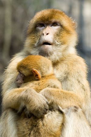 embracement: Portrait of two macaques - mother and a