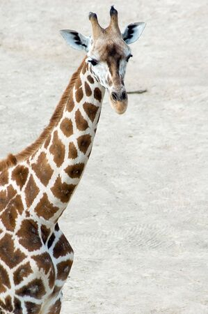 Portrait of Rotschilds giraffe (Camelopardis Rotschildi) photo