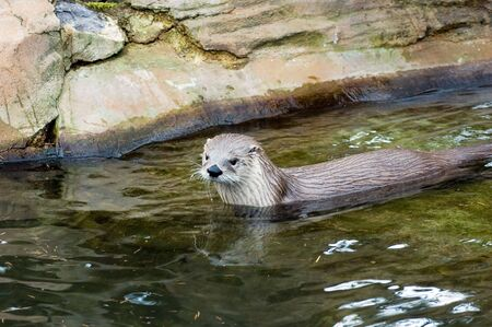 canadensis: Canadian river otter (Lutra Canadensis) swimming in a stream Stock Photo