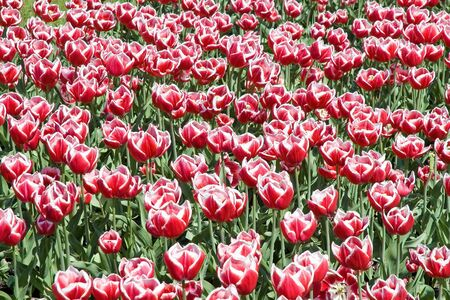 Flower bed full of red tulips with white stripes photo