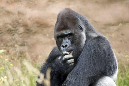 anthropoid: Portrait of lowland gorilla male primate eating grass