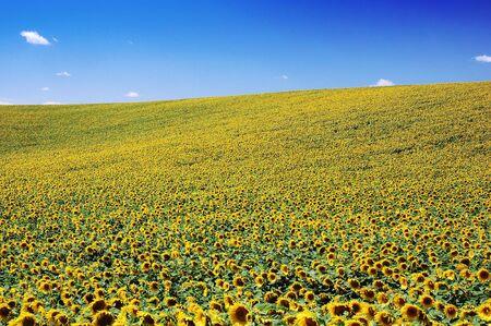 agronomy: Field full of yellow sunflowers