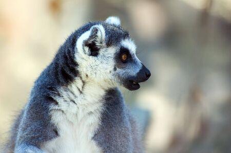 Portrait of ring-tailed lemur (lemur catta) Stock Photo - 2034570
