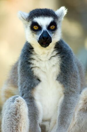 Portrait of sitting ring-tailed lemur photo