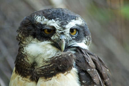 spectacled: Portrait of spectacled owl (Pulsatrix perspicillata) Stock Photo