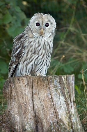 Portrait of ural owl (Strix uralensis) photo