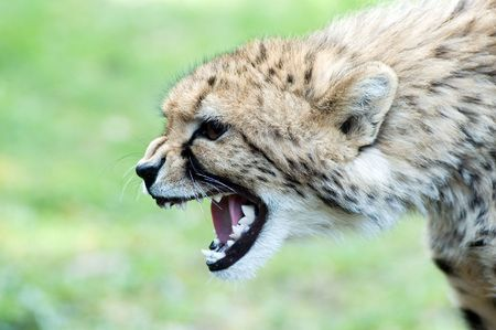 Portrait of angry cheetah with opened mouth photo