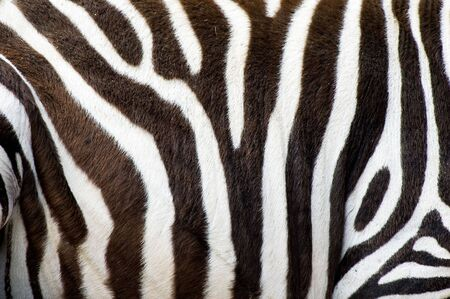 Detail shot of black and white striped zebras skin photo