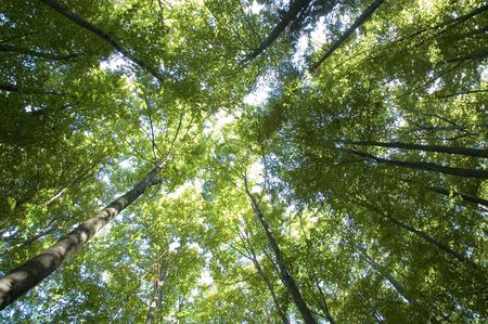redwood: Looking up to the sky through trees Stock Photo