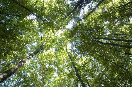 arboleda: Mirando al cielo a trav�s de los �rboles  Foto de archivo