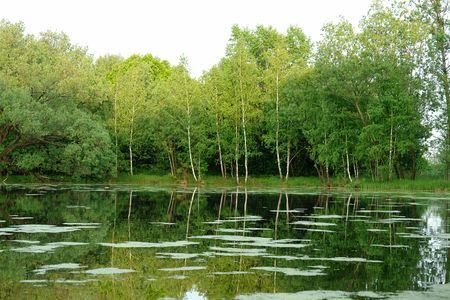 ooze: The pond overgrown with ooze in a wood Stock Photo