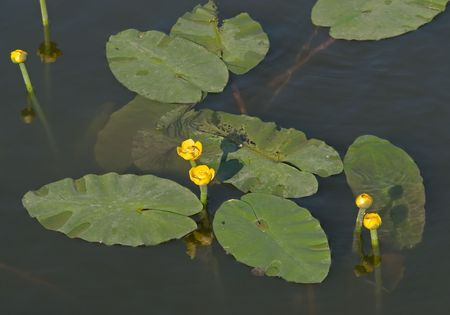 waterlillies: Yellow water lilies with large green leaves Stock Photo