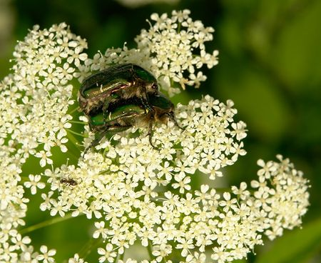 crawly: Two green beetles on the white flower