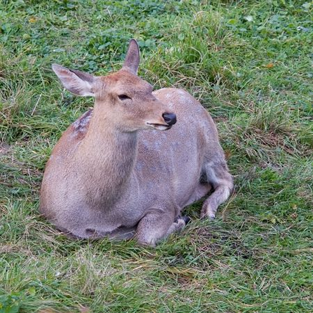elk point: young deer with green grass at background