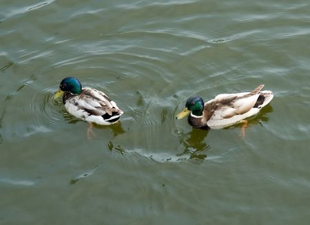 Ducks. Two drakes float on the river. photo