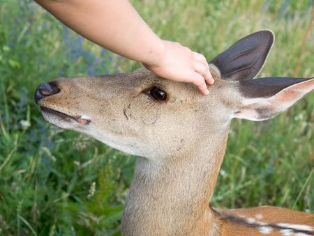 trusting: Small deer. A hand irons on a head of a deer.