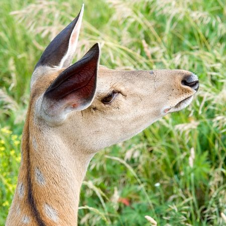 elk point: A small deer was guarded. The lifted ears. The guarded sight.