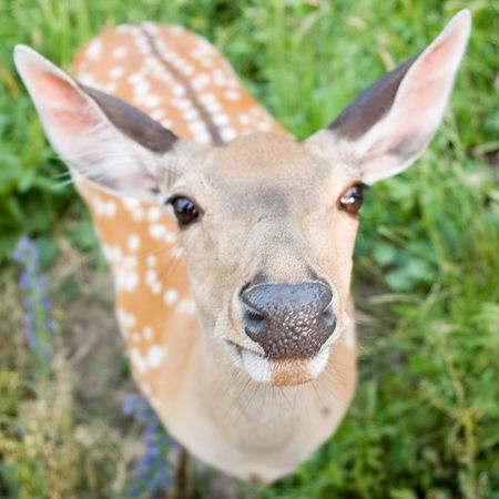 elk point: The small antelope trustfully and curiously looks in an objective. Stock Photo