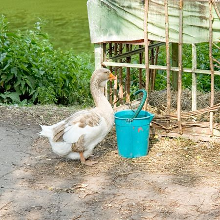 A big goose and his favourite bucket with meal. photo