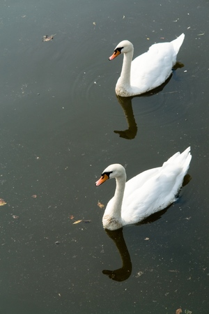 Two white swans on the dark river. Stock Photo - 1463403