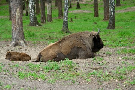 Aurochs. The big powerful bison and the calf lays in wood. Stock Photo - 3391787