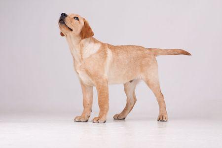 Labrador retriever. Puppy dog on a gray background. Foto de archivo