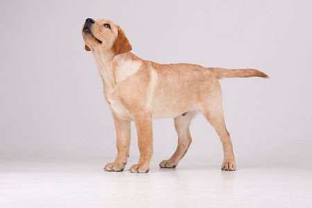 Labrador retriever. Puppy dog on a gray background. Stock Photo