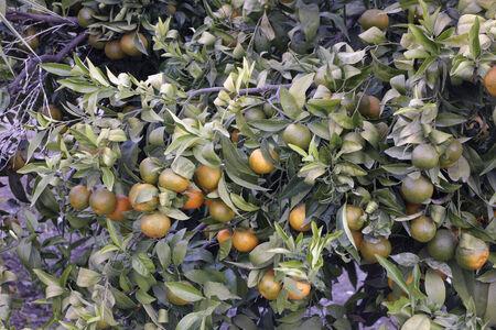 tangerine tree: Tangerine Tree.